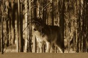 Konrad Wothe - Timber Wolf camouflaged amid birch forest, North America - Sepia