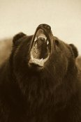 Konrad Wothe - Grizzly Bear close up of growling face - Sepia
