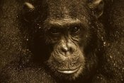 Gerry Ellis - Chimpanzee called Frodo in the rain, Gombe Stream National Park, Tanzania - Sepia
