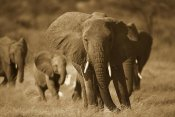 Gerry Ellis - African Elephant group, vulnerable, Samburu National Reserve, Kenya - Sepia