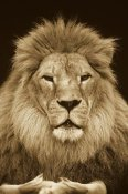 Gerry Ellis - African Lion male, portrait, Washington Park Zoo - Sepia