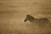 Gerry Ellis - Burchell's Zebra in savannah grass, Masai Mara National Reserve, Kenya - Sepia