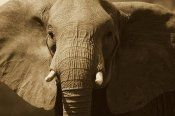 Gerry Ellis - African Elephant close up, Amboseli National Park, Kenya - Sepia
