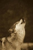 Gerry Ellis - Timber Wolf howling, close up, Oregon Zoo, Portland - Sepia