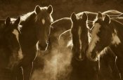 Pete Oxford - Horse herd at annual round-up, backlit, Ecuador - Sepia