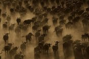 Pete Oxford - Cape Buffalo herd stampeding, Africa - Sepia