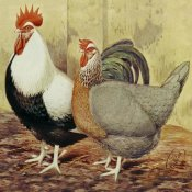 Lewis Wright - Chickens: Silver-Grey Dorkings