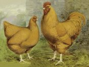 Lewis Wright - Chickens: Buff Orpingtons