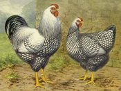 Lewis Wright - Chickens: Silver Laced Wyandottes