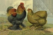 Lewis Wright - Chickens: Partridge Cochins