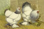Lewis Wright - Chickens: Light Brahmas