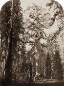 Carleton Watkins - Grizzly Giant - 33 ft. diam. -  Mariposa Grove, Yosemite, California, 1861