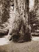 Carleton Watkins - Big Tree Felton (Redwood), Santa Cruz, California, 1880s