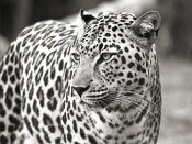 Claudia Lothering - Portrait of leopard, South Africa