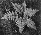 Ansel Adams - Ferns, Glacier National Park, Montana - National Parks and Monuments, 1941