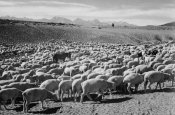 Ansel Adams - Flock in Owens Valley - National Parks and Monuments, 1941