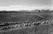 Ansel Adams - Flock in Owens Valley, California, 1941