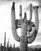 Ansel Adams - View of cactus and surrounding area Saguaros, Saguaro National Monument, Arizona, ca. 1941-1942