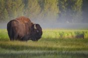 Sandipan Biswas - Bison In Morning Light