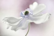 Mandy Disher - Anemone Breeze