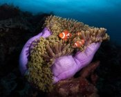 Marco Fierli - Clown Fish With Magnificent Anemone