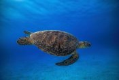 Barathieu Gabriel - Green Turtle In The Blue