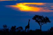 Mario Moreno - A Giraffe At Sunset