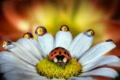 Ghizzi Panizza Alberto - The vanity of the ladybug