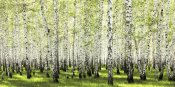 Anonymous - Birch forest in spring