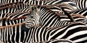 Pangea Images - Herd of zebras