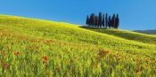 Frank Krahmer - Cypress and corn field, Tuscany, Italy