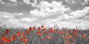 Frank Krahmer - Poppies in corn field, Bavaria, Germany