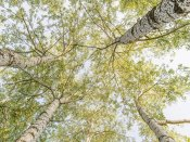 Pangea Images - Birch woods in spring