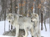 Anonymous - Grey wolves huddle together during a snowstorm, Quebec