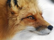 Alain Turgeon - Red Fox