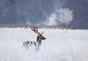 Allan Wallberg - Fallow Deer In The Frozen Winter Landscape