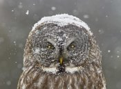 Mircea Costina - Great Grey Owl Winter Portrait