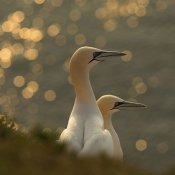 Karen Kolbeck - Gannets In Sunset