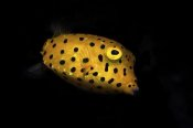Barathieu Gabriel - Yellow Boxfish