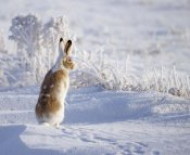 Shlomo Waldmann - White-Tailed Jackrabbit