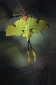Jimmy Hoffman - Moon Moth
