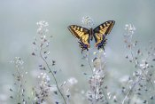 Petar Sabol - Swallowtail beauty