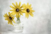 Mandy Disher - Rudbeckia