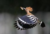 Shlomo Waldmann - Hoopoe,Feeding