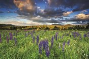 Katherine Gendreau - Lupine Sunset