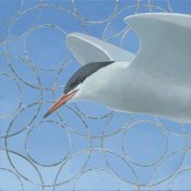 Kathrine Lovell - Common Tern
