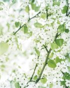 Brookview Studio - White Blossoms