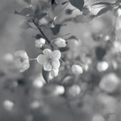 Sue Schlabach - Blush Blossoms I Square BW