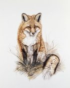 Jacquie Vaux - Red Fox