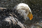 Vic Schendel - Bald Eagle Bath